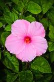 Fiore rosa dell'ibisco Fotografie Stock