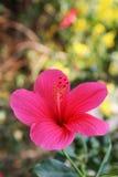 Fiore rosa dell'ibisco - hibiscus rosa sinensis Fotografia Stock Libera da Diritti