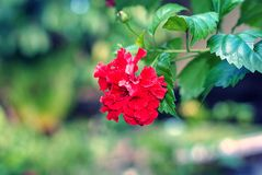 Fiore rosa dell'ibisco o di cinese del fiore della scarpa fotografie stock