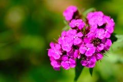 Fiore rosa dell'offerta Fotografie Stock