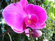 Fiore rosa dell'orchidea Fotografia Stock
