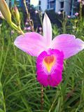 Fiore rosa dell'orchidea Immagini Stock