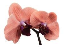 Fiore rosa dell'orchidea Isolato su fondo bianco con il percorso di ritaglio closeup Il ramo delle orchidee Fotografie Stock