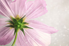 Fiore rosa dell'universo con il fondo molle della sfuocatura Fotografie Stock