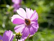 Fiore rosa dell'universo con l'ape del miele fotografia stock libera da diritti