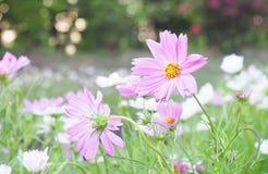 Fiore rosa dell'universo della natura Immagini Stock