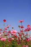 Fiore rosa dell'universo in giardino Immagine Stock Libera da Diritti