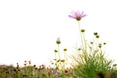 Fiore rosa dell'universo nel campo con il tramonto fotografie stock libere da diritti