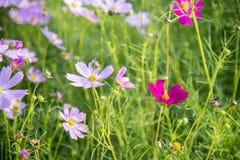 Fiore rosa dell'universo nel garden12 Fotografia Stock