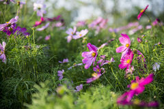 Fiore rosa dell'universo nel garden10 Fotografia Stock Libera da Diritti