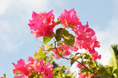 Fiore rosa della buganvillea Fotografie Stock Libere da Diritti