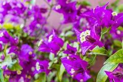 Fiore rosa della buganvillea Immagine Stock
