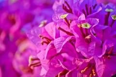 Fiore rosa della buganvillea del primo piano Fotografie Stock