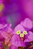 Fiore rosa della buganvillea dentro Fotografia Stock