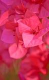 Fiore rosa della buganvillea in giardino Fotografia Stock Libera da Diritti