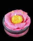 Fiore rosa della camelia Immagine Stock