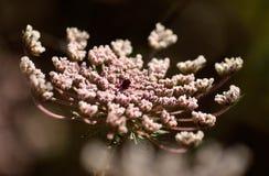 Fiore rosa della carota selvatica Immagine Stock