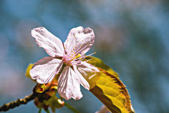 Fiore rosa della ciliegia Fotografia Stock