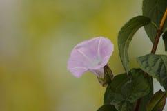 Fiore rosa della cobite su un fondo vago delicato immagine stock