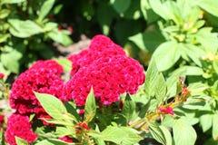 Fiore rosa della cresta di gallo del velluto Immagini Stock Libere da Diritti