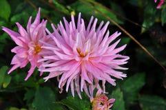 Fiore rosa della dalia con i petali sottili Fotografia Stock Libera da Diritti
