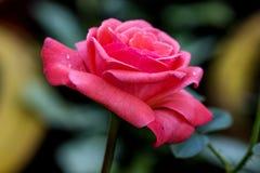 Fiore rosa della rosa di colore Fotografia Stock Libera da Diritti