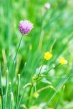 Fiore rosa della fine dell'erba della erba cipollina su Fotografia Stock Libera da Diritti