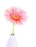 Fiore rosa della gerbera Fotografia Stock