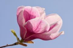 Fiore rosa della magnolia in piena fioritura Fotografia Stock