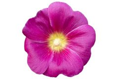 Fiore rosa della malvarosa una del Alcea isolato su bianco Fotografie Stock Libere da Diritti