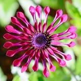 Fiore rosa della margherita del ragno Fotografia Stock