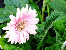 Fiore rosa della margherita della gerbera su fondo bianco fotografia stock