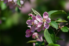 Fiore rosa della mela Fotografie Stock