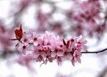 Fiore rosa della molla Immagine Stock
