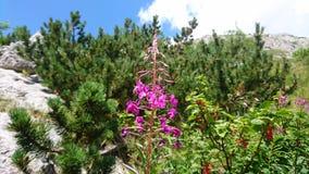 Fiore rosa della montagna Immagine Stock