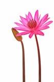 Fiore rosa della ninfea fotografia stock