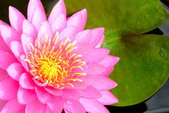 Fiore rosa della ninfea Immagine Stock