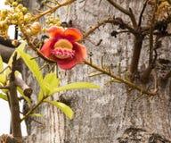 Fiore rosa della palla di cannone Fotografie Stock