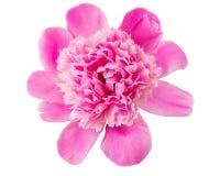 Fiore rosa della peonia fotografia stock