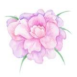 fiore rosa della peonia dell'acquerello illustrazione vettoriale