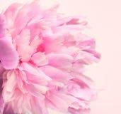 Fiore rosa della peonia nel fondo molle Fotografia Stock