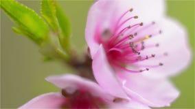 Fiore rosa della pesca su un ramo in una profondità di campo bassa video d archivio