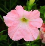 Fiore rosa della petunia Immagine Stock