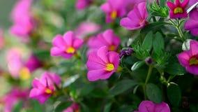 Fiore rosa della petunia archivi video