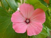 Fiore rosa della petunia fotografia stock libera da diritti
