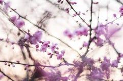 Fiore rosa della prugna Fotografia Stock