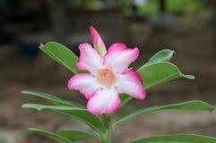 Fiore rosa della rosa del deserto Fotografie Stock