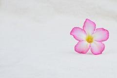 Fiore rosa della rosa del deserto sul tessuto della mussola Immagini Stock Libere da Diritti