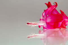 Fiore rosa della schlumbergera con i dettagli Fotografie Stock