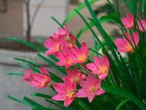 Fiore rosa della Tailandia Fotografie Stock